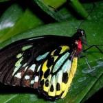 351429 borboleta Rainha Alexandra 150x150 As borboletas mais lindas do mundo