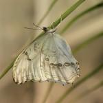 351429 borboleta branca camuflada 150x150 As borboletas mais lindas do mundo