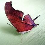 351429 borboleta estranha 150x150 As borboletas mais lindas do mundo