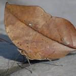 351429 borboleta folha 150x150 As borboletas mais lindas do mundo