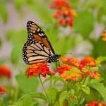 351429 borboleta monarca 150x150 As borboletas mais lindas do mundo