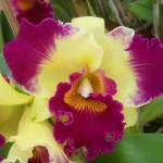 356846 1dfe9bc310 11 3okok 150x150 As orquídeas mais bonitas da natureza