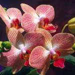 356846 NOSSAS ORQUIDEAS NATUREZA MAIS BELA 150x150 As orquídeas mais bonitas da natureza