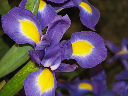356846 Orquidea Roxa e Amarela As orquídeas mais bonitas da natureza