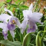 356846 PRESERVE A NATUREZA FLORICULTURA CHARLEM 150x150 As orquídeas mais bonitas da natureza
