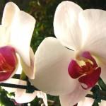 356846 Phalaenopsis 150x150 As orquídeas mais bonitas da natureza
