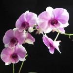 356846 dend.Dendrobium Phalaenopsis 5 550x412 150x150 As orquídeas mais bonitas da natureza