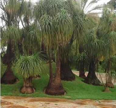 359189 jardim de pata de elefante Como cultivar planta pata de elefante