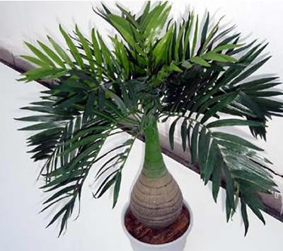 359189 planta pata de elefante Como cultivar planta pata de elefante