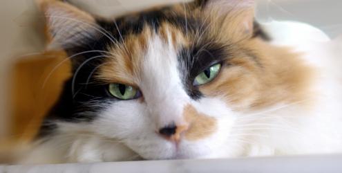 361311 gatoenjoado Por que os gatos se lambem tanto?