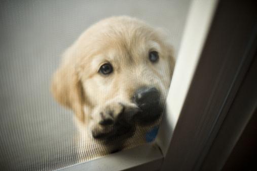 362738 adoção de cães Doação de cães de raça em SP, e RJ