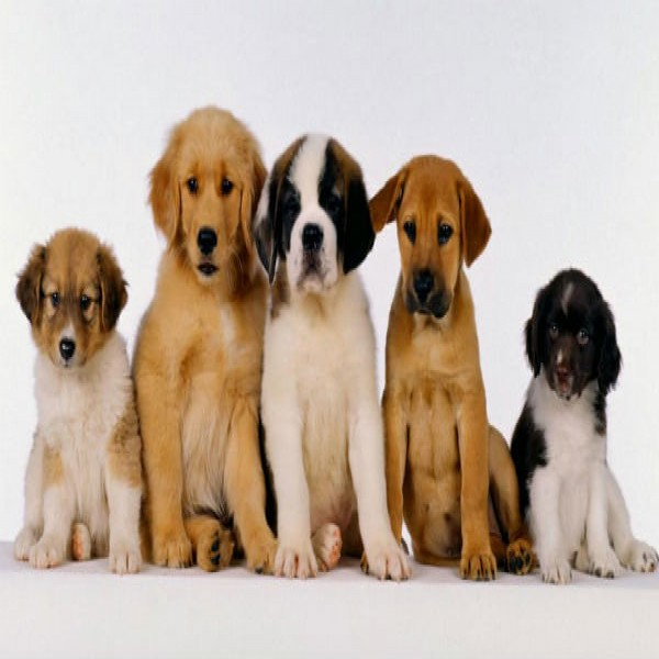 362738 cachorros para adoção 12 600x600 Doação de cães de raça em SP, e RJ