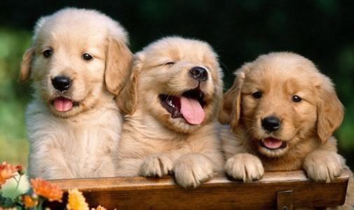 362738 filhotes doacao iguatemi florianopolis Doação de cães de raça em SP, e RJ