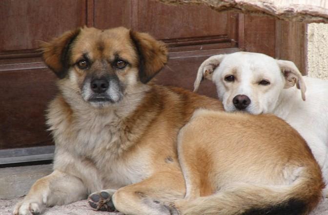 366005 figura2 Gravidez psicológica canina: o que fazer