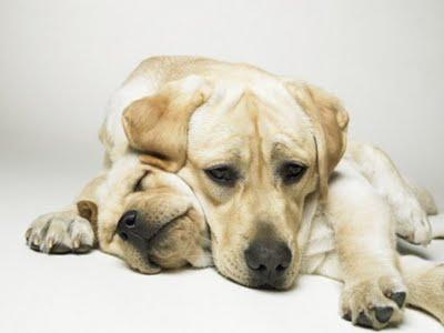366005 foto1 Gravidez psicológica canina: o que fazer