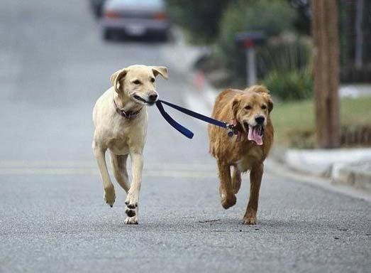 366067 levar o cao a passear 4874 Prepare o cão para o primeiro passeio