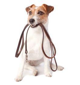 366067 passeio Prepare o cão para o primeiro passeio