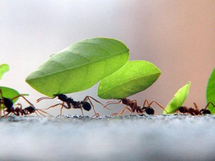 366443 1226194549 346677814 d513fa546b Curiosidades sobre as formigas