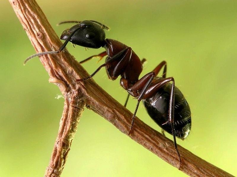366443 formiga 7866 Curiosidades sobre as formigas