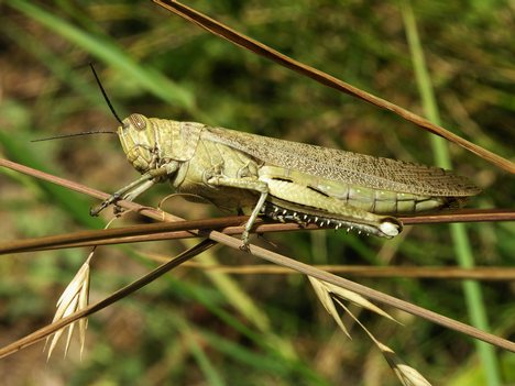 368118 Schistocerca gregaria Os insetos mais perigosos do mundo