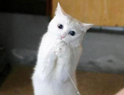 Gatos Dos Olhos Azuis Gatos Brancos de Olhos Azuis