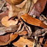 371966 sapo camuflado entre as folhas 150x150 Animais que se camuflam na natureza: fotos