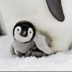 373124 filhotinho de pinguim 150x150 Os animais mais fofos do mundo: fotos