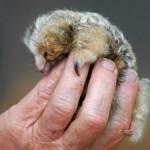 373124 tamanduaí 150x150 Os animais mais fofos do mundo: fotos