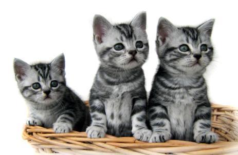 374109 American Short hair filhote 2 Fotos de gatos de raça