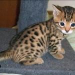 374109 Bengal filhote 150x150 Fotos de gatos de raça