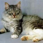 374109 Gatos Maine Coon 150x150 Fotos de gatos de raça