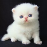 374109 Persa Branco 150x150 Fotos de gatos de raça