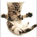 374109 american shorthair filhote 150x150 Fotos de gatos de raça