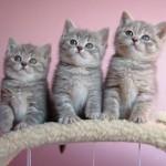 374109 british short hair filhotes 150x150 Fotos de gatos de raça
