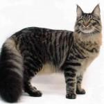 374109 foto gato maine coon 150x150 Fotos de gatos de raça
