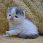 374109 gatinho persa 150x150 Fotos de gatos de raça