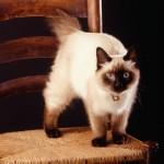 374109 gato birmanes 150x150 Fotos de gatos de raça
