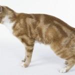 374109 gato de raça manx 150x150 Fotos de gatos de raça