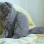 374109 gato persa azul 150x150 Fotos de gatos de raça