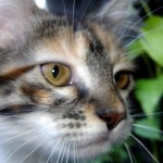 374109 pelo curto brasileiro 150x150 Fotos de gatos de raça