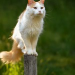 374109 raça angora 150x150 Fotos de gatos de raça