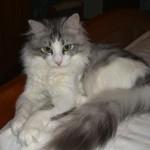 374109 raça de gato angora 150x150 Fotos de gatos de raça