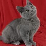 374109 raça de gato chartreux 150x150 Fotos de gatos de raça