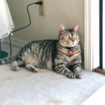 374109 raça egyptian mau 1 150x150 Fotos de gatos de raça