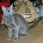 374109 russian blue 150x150 Fotos de gatos de raça