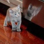 374109 russian blue filhote 150x150 Fotos de gatos de raça
