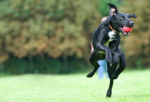 374760 cachorro grande porte Dicas para dar banhos em cães