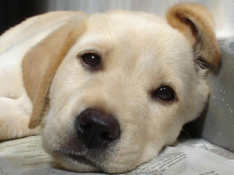 376962 969696 Como tratar de cães com pulgas
