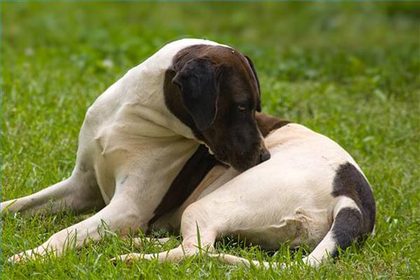 376962 cachorropulga Como tratar de cães com pulgas