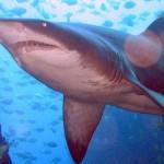380688 000x28ca 150x150 Tubarão touro: fotos